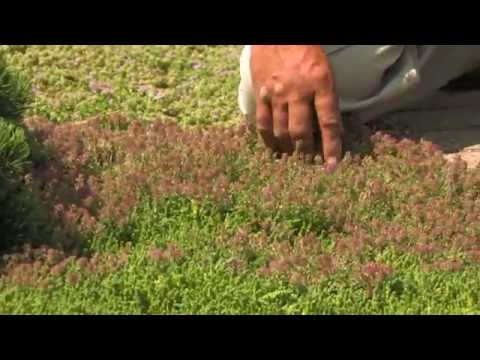 thyme - Thyme serves not only as a culinary herb, but also as an attractive groundcover. Creeping thymes are extremely low-growing, fragrant, offer different flower ...