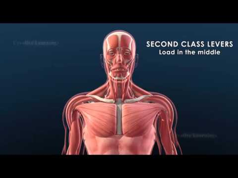 Joints and levers in the human body    3D Animation  Education Biology