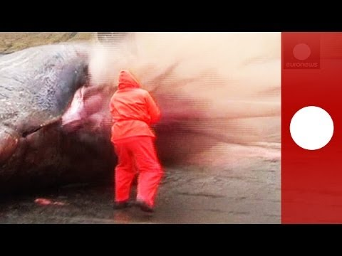 Explodes - WARNING: GRAPHIC CONTENT A video clip, shown on Faroese Television on Tuesday (November 26), showed a washed-up dead sperm whale explode, spraying entrails ...