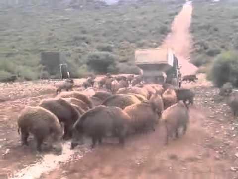 l'invasione dei cinghiali - guardate che roba!