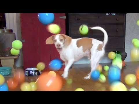 Dog Surprised with 100 Balls