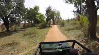 Bandhavgarh India  city photos : Spring Break 2016 Tiger Safari / Bandhavgarh India
