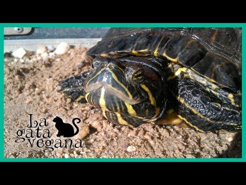 Acuario para tortugas de agua videos videos for Acuario tortugas