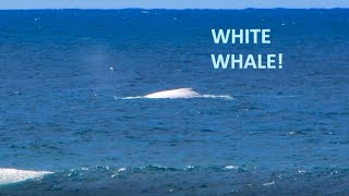 Hastings Point Australia  city photos gallery : A Rare White Whale at Hastings Point, NSW, Australia