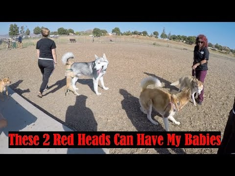 Video How To Socialize Your Dog Using A Dog Park, 2 Red Husky Female and 1 Male download in MP3, 3GP, MP4, WEBM, AVI, FLV January 2017