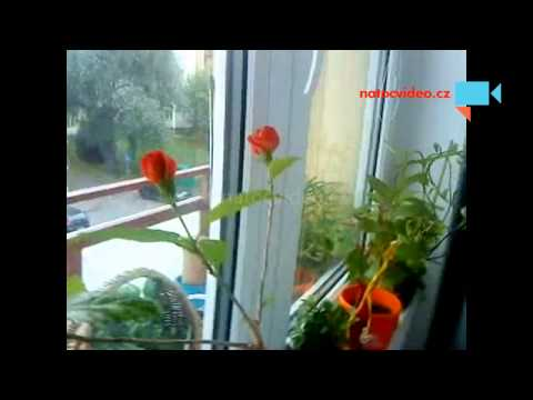 Čínská růže