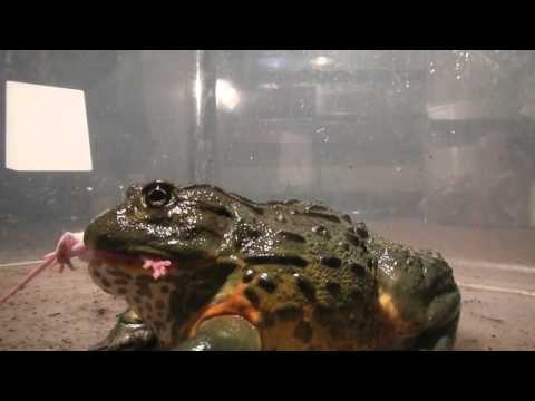Giant African Bullfrogs eating everything in sight