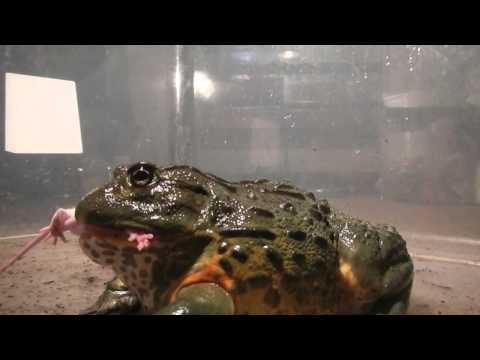 非洲牛蛙「爆吃蟑螂海」畫面曝光