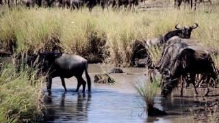La Gran Migración en el rio Grumeti (Serengeti)
