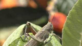 Here is a grasshopper I spotted on a  Kumquat tree on the island of Zakynthos in Greece.  It was filmed on a Panasonic HC-VX870 4k resolution camcorder.  It shows great detail and is best enjoyed on a 4k screen.