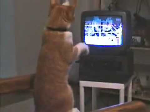 Cat Learns Boxing on TV