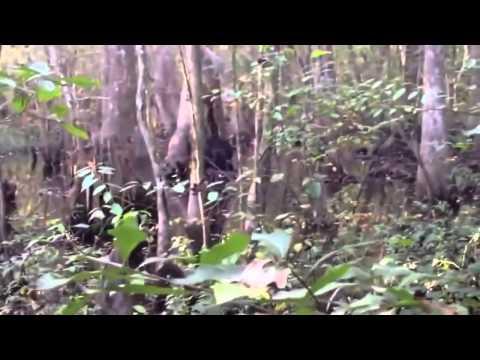 Skunk Ape Sighting In The Woods