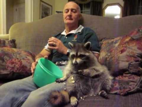 這男子看到「被老媽拋棄瀕死的小浣熊」決定要好好照顧牠,結果浣熊長大後竟然用這種方式進行報答!