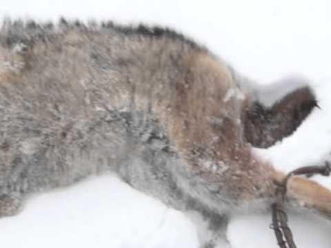 ловля рысей в петли видео
