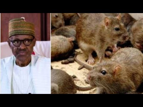 President BUHARI Chase Out Of ASO ROCK BY RATS