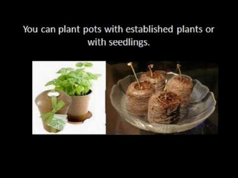 Growing herbs in pots Indoors