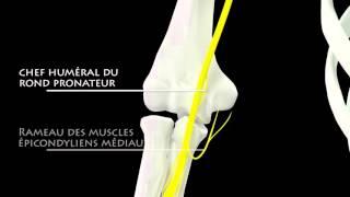 le nerf médian, branches collatérales, en 3D