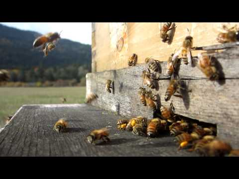 Amazing HD Honeybees Video!!! (High Definition) Beekeeping MUST WATCH THIS!!