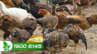Chăn nuôi gà | Yếu tố chính dẫn đến bệnh cầu trùng ghép E.coli dung huyết ở gà