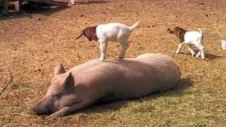 Baby Goat Dancing On A Pig Song
