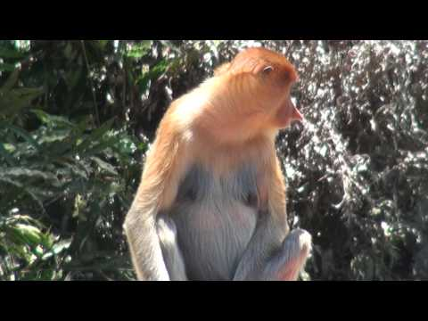 Video MONKEY BUSINESS (Proboscis,Sabah,Malaysia,Borneo) download in MP3, 3GP, MP4, WEBM, AVI, FLV January 2017
