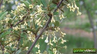 The blossom of Elaeagnus multiflora