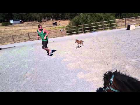 Baby miniature horse chasing a person