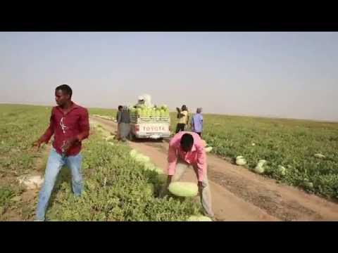 #فيديو : #شاهد جني ونقل الحبحب من داخل مزارع وادي الدواسر