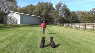 Kona and Hilo the Labradors Off Leash Training