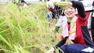 稲刈り体験(食育実践演習)