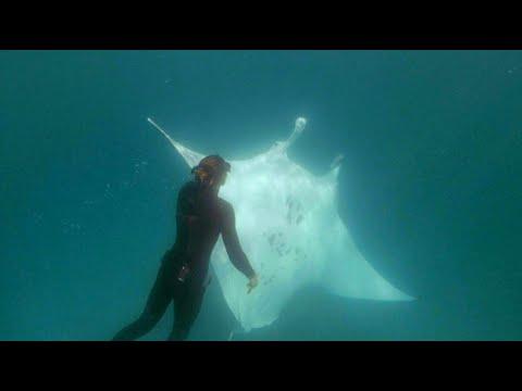 3-Meter-Manta bittet Taucher wegen Verletzung um Hilfe
