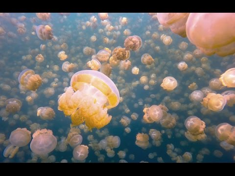 My surreal swim with millions of jellyfish. Here, on an isolated island in Palau, they've evolved not to sting
