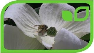 Cornus Venus - gigantische Blüten in weiss