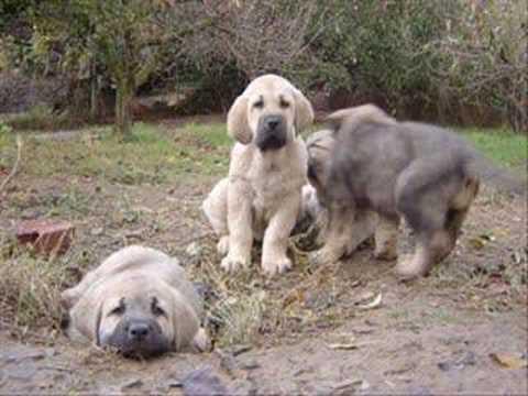 Cachorros de Mastin Español afijo de Valdejera