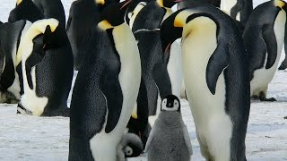 Robochick Approaches Wary Penguins | Science News