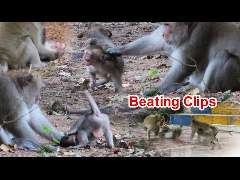 Top Beating Clips!!! Big Macaque Monkeys Are Not Happy While Babies Near Them, When Eating Food