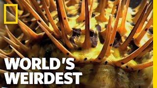 World's Weirdest - Poisonous Pufferfish vs. Eel
