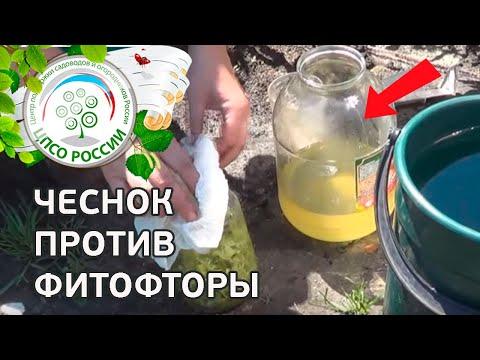 Народные средства от фитофторы на томатах. Обработка томатов чесноком.