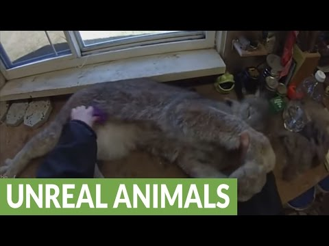 Canada lynx absolutely loves being brushed