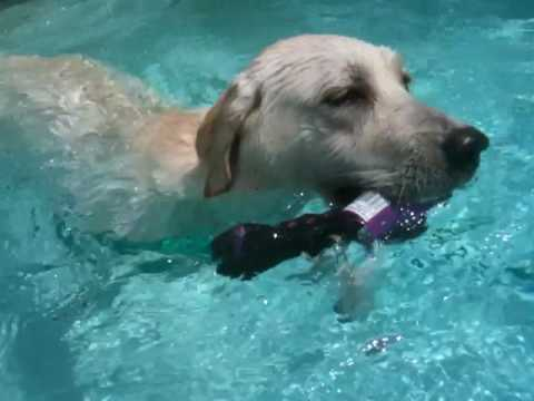 White lab puppy dives in pool