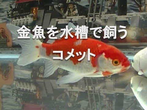 金魚を水槽で飼う コメット