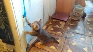 Хорошие котята попадают в хорошие руки - факт и с ним нечего спорить. Добрый котенок остался один у родителей ему 1,5 месяца. Котенок британец, он приучен к лотку и когтеточки.