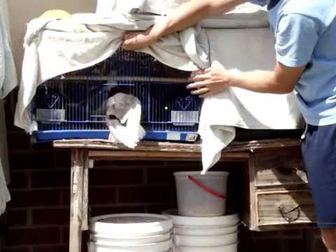 roller pigeons - A clip shown of how I trained my Roller pigeons to come back to their cage... Trust me, it's take hard work, time, and patient to get your birds to follow up...