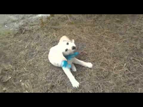 Adozione cucciola carol incrocio labrador in regalo