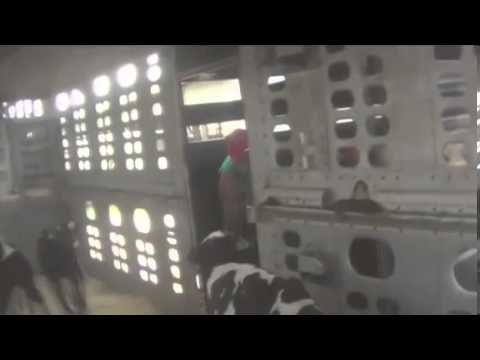 Graphic  Shocking footage of cruelty to dairy calves   Mail Online