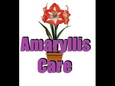 how to care amaryllis