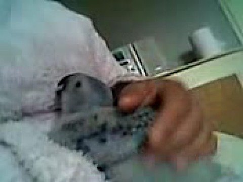 my baby african grey