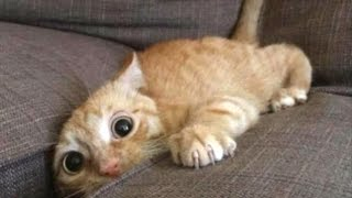 Nonton Top 10 Funny Cat Videos   Funny Cats 2017 Film Subtitle Indonesia Streaming Movie Download