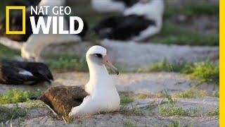 No Spring Chicken: 67-Year-Old Albatross Hatches Chick | Nat Geo Wild by Nat Geo WILD
