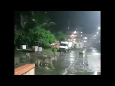 Lion pride wanders through Junagadh city in India on a rainy night